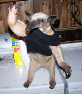 Everybody loves pet anteaters